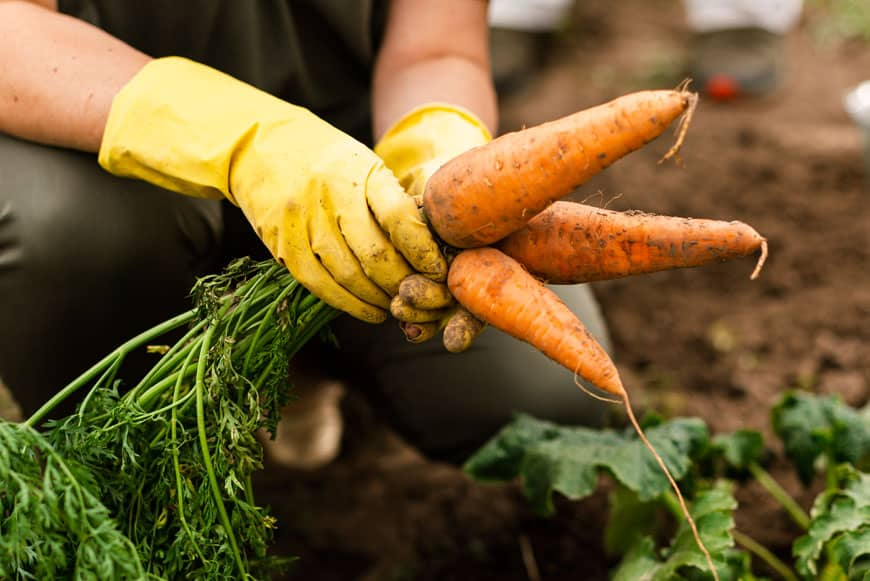image of woman harvesting carrots